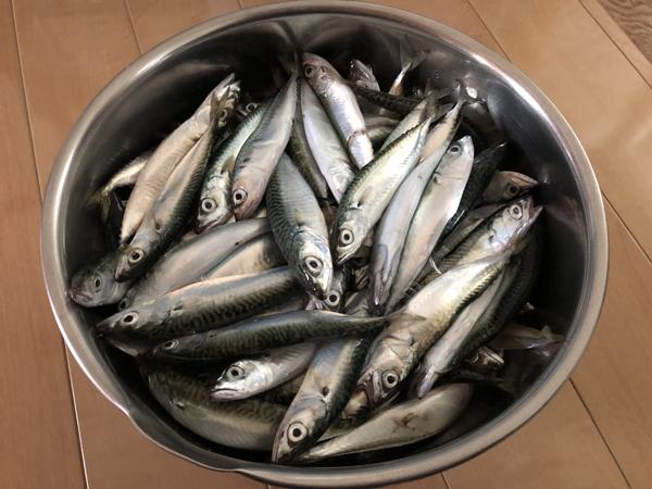 留萌港で小鯖のサビキ釣り、大爆釣003
