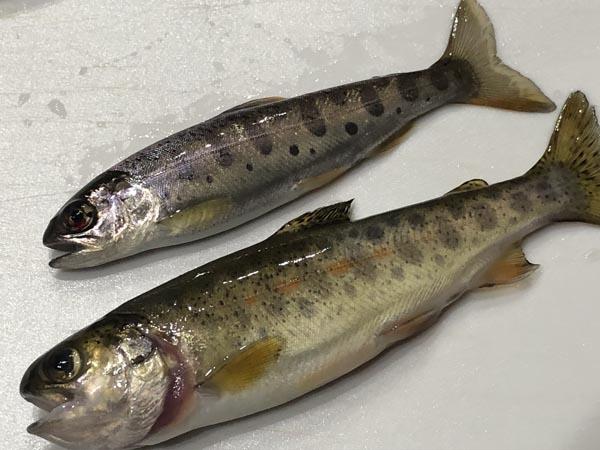 ヤマベ(ヤマメ)とニジマス幼魚の見分け方000