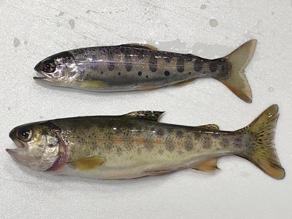 ヤマベ(ヤマメ)とニジマス幼魚の見分け方001