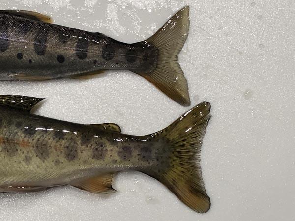 ヤマベ(ヤマメ)とニジマス幼魚の見分け方002