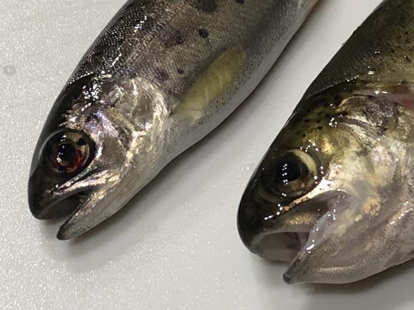 ヤマベ(ヤマメ)とニジマス幼魚の見分け方004