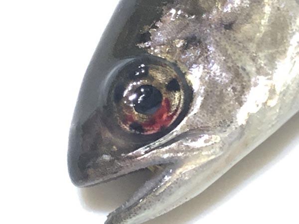 ヤマベ(ヤマメ)とニジマス幼魚の見分け方005